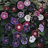 Morning Glory 'Mixed' - 1 packet (35 seeds)