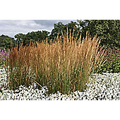 feather reed grass (Calamagrostis × acutiflora 'Karl Foerster')