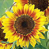 Sunflower 'Solar Flash' F1 Hybrid - 1 packet (12 seeds)