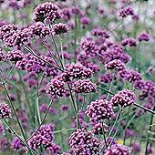Verbena bonariensis - 1 packet (200 seeds)