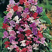 Sweet Pea 'Fragrantissima' - 1 packet (35 seeds)