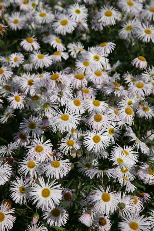 fleabane (Erigeron 'Sommerneuschnee')