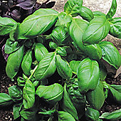 Basil 'Sweet Green' - 1 packet (400 seeds)
