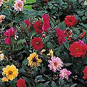 Dahlia variabilis 'Redskin' - 1 packet (30 seeds)