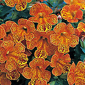 Mimulus x hybridus 'Magic Yellow Flame' F1 Hybrid - 1 packet (40 seeds)