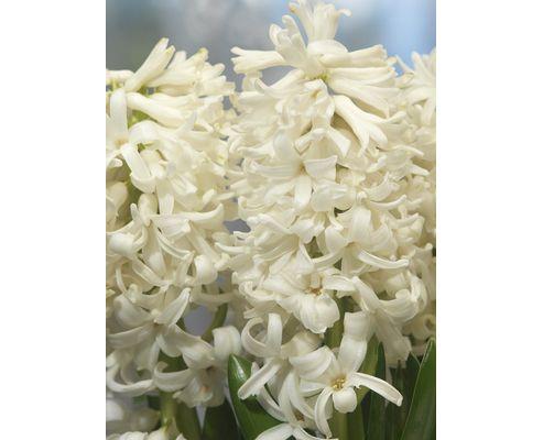 garden hyacinth bulbs Carnegie (Hyacinthus orientalis 'Carnegie')