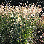 Pennisetum macrourum 'Tail Feathers' - 1 packet (20 seeds)