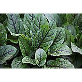 Salad leaves red-veined sorrel (sorrel red veined)