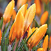 30 x Crocus 'Orange Monarch' Bulbs - Perennial Spring Flowers (Corms)