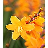 montbretia (Crocosmia ? crocosmiiflora 'George Davison')