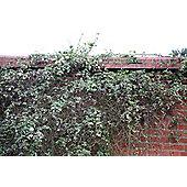 fern-leaved clematis (group 1) (Clematis cirrhosa var. balearica)