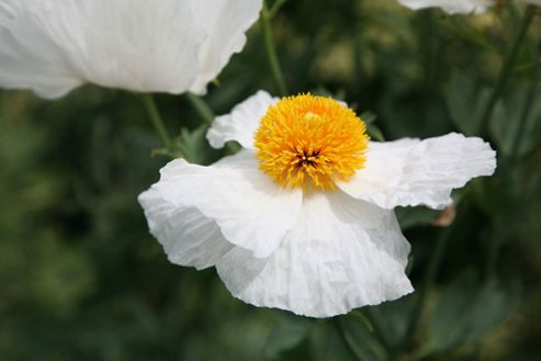 tree poppy (Romneya coulteri)