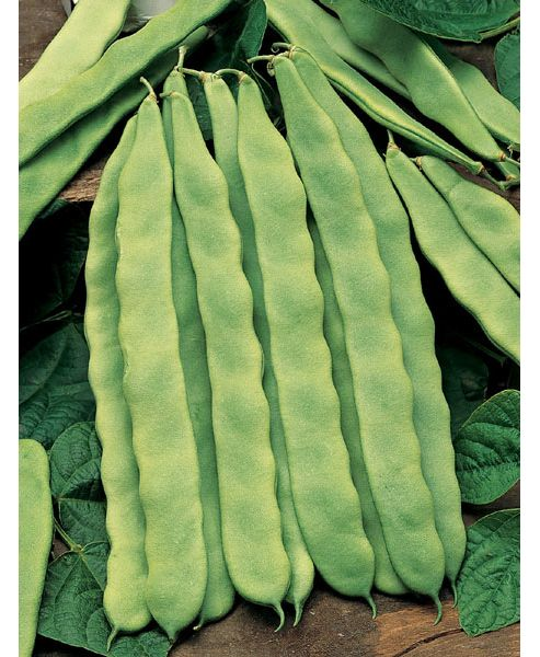 French bean (climbing French bean 'Hunter')