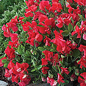 Sweet Pea 'Villa Roma Scarlet' - 1 packet (20 seeds)