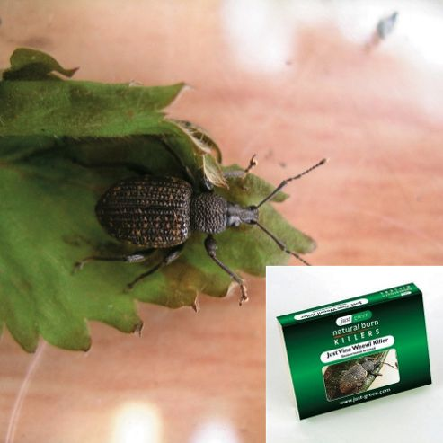 Natural Pest Control - Vine Weevil - 1 large pack