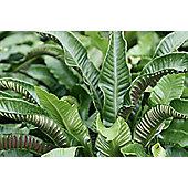hart's tongue fern (Asplenium scolopendrium)