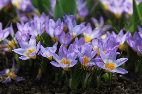 crocus bulbs (Crocus sieberi subsp. sublimis 'Tricolor')