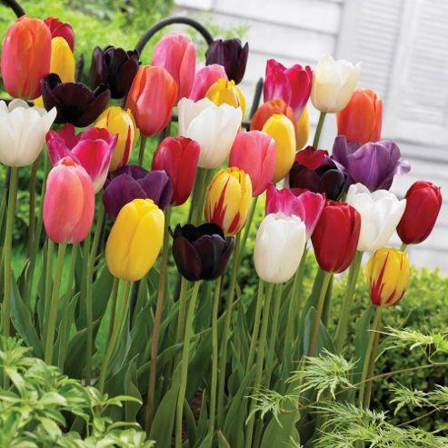 Tulip 'Everlasting' Mixture - 20 bulbs
