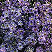 Brachyscome iberidifolia 'Little Missy' - 1 packet (200 seeds)