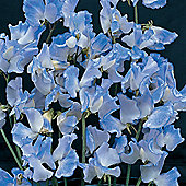 Sweet Pea 'Blue Ripple' - 1 packet (25 seeds)