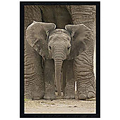 Elephants Black Wooden Framed Elephant Calf protected by Mother Poster