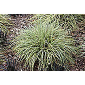 sedge (Carex oshimensis 'Evergold')