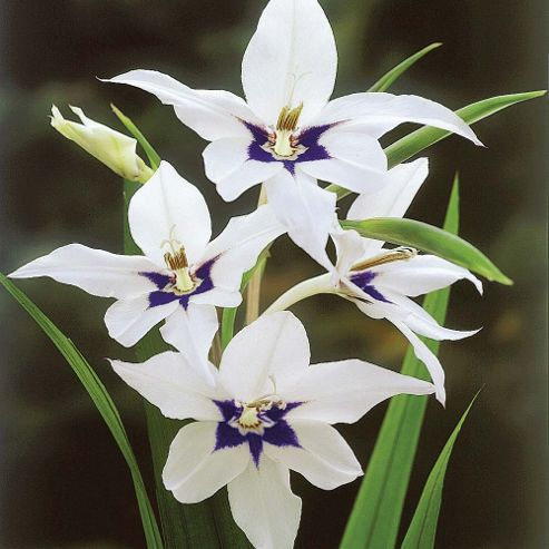 Gladiolus murielae - 50 bulbs