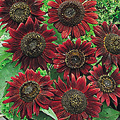 Sunflower 'Velvet Queen' - 1 packet (18 seeds)