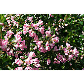 escallonia (Escallonia 'Apple Blossom')