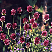 60 x Allium Sphaerocephalon Bulbs - Perennial Spring Flowers