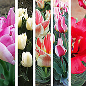 50pc Top 5 Container Tulip Bulb Collection - Perennial Spring Flowers