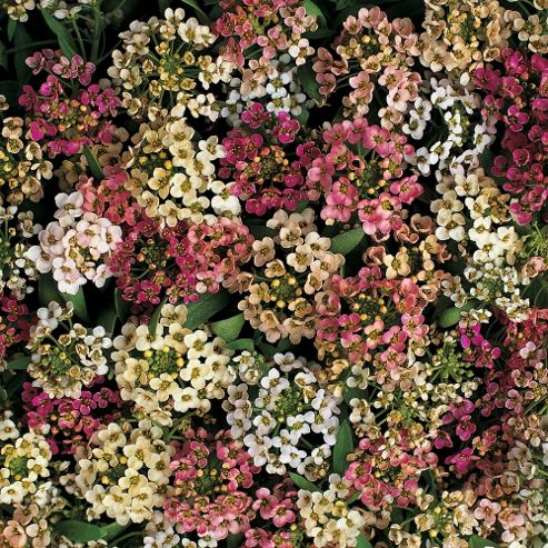 Alyssum 'Aphrodite Improved Mixed' - 1 packet (150 seeds)