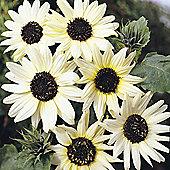 Sunflower 'Italian White' - 1 packet (40 seeds)