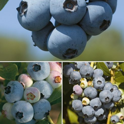 Blueberry 'Full Season Collection' - 3 plants in 1.5l pots - 1 of each variety