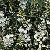 Lathyrus latifolius 'White Pearl' - 1 packet (15 seeds)