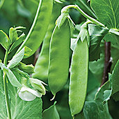 Pea 'Kennedy' (Mangetout) - 1 packet (100 pea seeds)