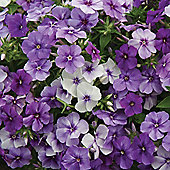 Phlox drummondii 'Moody Blues' - 1 packet (175 seeds)