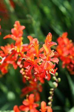 montbretia (Crocosmia masoniorum)