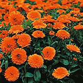 Calendula officinalis 'Candyman Orange' - 1 packet (100 seeds)
