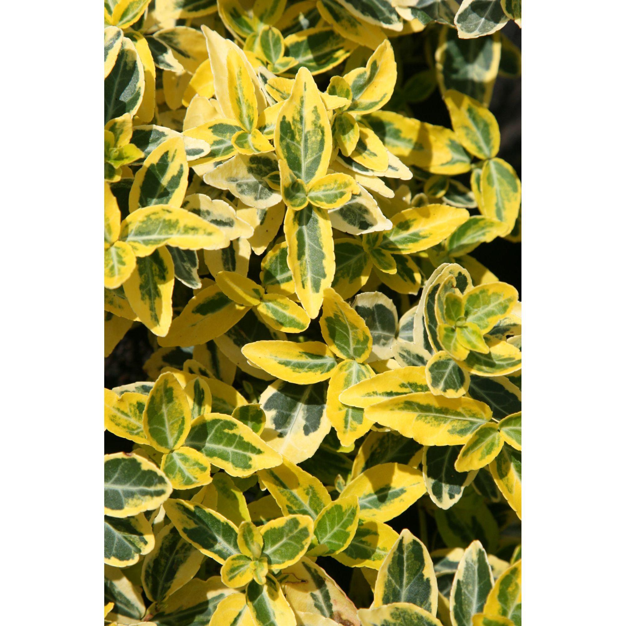 Home And Garden Evergreen Azalea Rhododendron 39 Mother 39 S