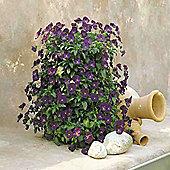 Pansy 'Purple Rain' F1 Hybrid - 1 packet (20 seeds)