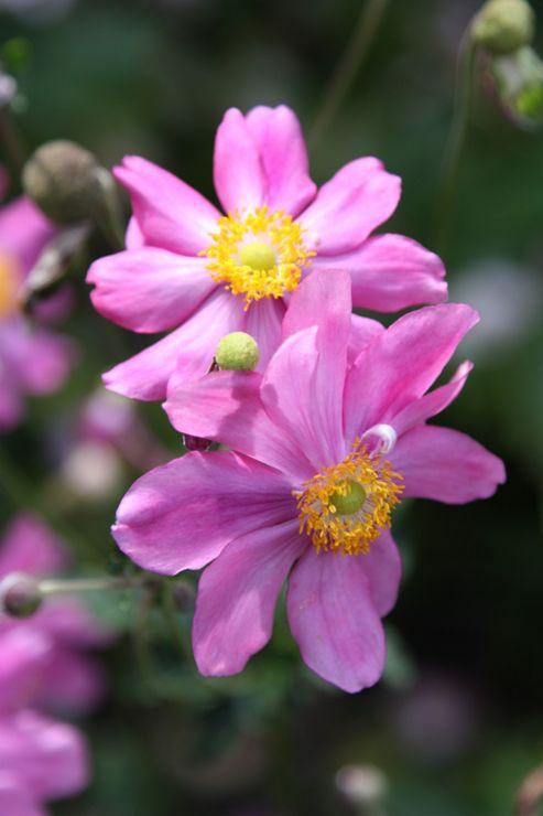 windflower (Anemone hupehensis var. japonica 'Prinz Heinrich')