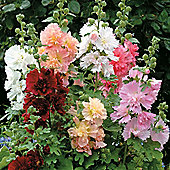 Hollyhock 'Spring Celebrities Mixed' (Annual) - 1 packet (20 seeds)