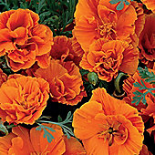 Californian Poppy 'Rosebud Orange' - 1 packet (150 seeds)