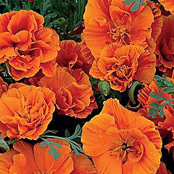 Californian Poppy 'Rosebud Orange' - 1 packet (150 seeds)