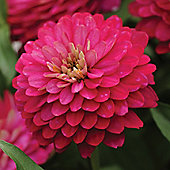 Zinnia marylandica 'Double Zahara Strawberry' - 1 packet (12 seeds)