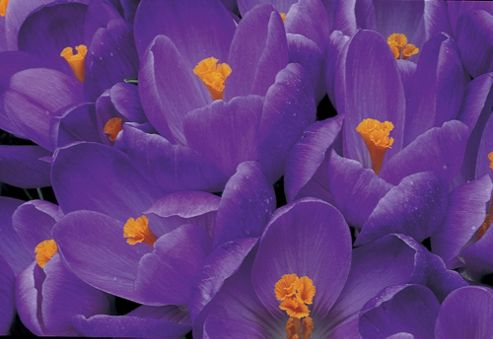Dutch crocus bulbs (Crocus ? cultorum 'Remembrance')