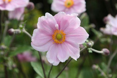 Japanese anemone (Anemone ? hybrida 'Elegans')