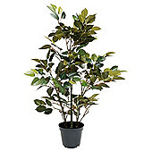 60Cm / 2Ft Green Potted Ficus