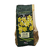 Taylors Narcissus Bulbs Dutch Master 2kg